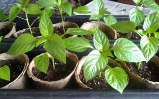 Выращивание рассады перца в домашних условиях пошагово, без пикировки