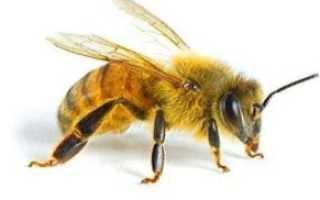 Пчела: как выглядит, строение, чем питается