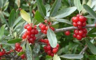 Шефердия серебристая: лекарственное растение, применение, отзывы, полезные свойства, противопоказания