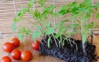 Когда высаживать помидоры в открытый грунт рассадой, как подвязывать, видео