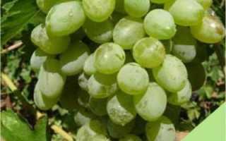 Виноград Белое чудо: описание сорта и его особенности