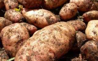 Картофель лапоть: описание сорта, фото, отзывы, урожайность