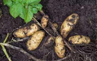 Картофель Гранада: описание сорта, фото, отзывы