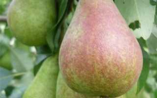 Сорт груши Аллегро: фото, отзывы, описание, характеристики