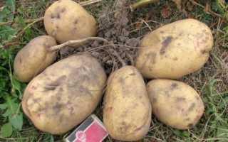 Сорт картофеля Великан: фото, отзывы, описание, характеристики