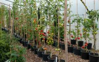 Выращивание томатов в ведрах в теплице: основные правила, преимущества и особенности метода — Огород Expert