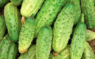 Огурец Родничок F1: характеристика и описание сорта, выращивание
