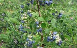 Голубика Спартан — все о сорте, описание, отзывы, азы выращивания, Ягодный сад, или прикладное садоводство в советах, вопросах и ответах