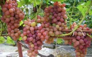 10 ранних сортов винограда: супер ранние, сверх ранние и очень ранние