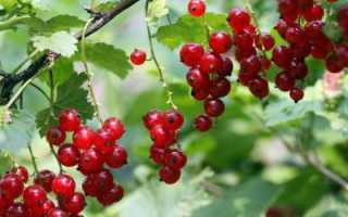 Смородина красная натали: описание сорта, фото, отзывы