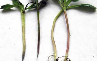 Черная ножка у рассады помидоров: меры борьбы, причины возникновения и лечение недуга