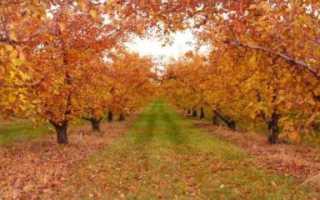 Побелка яблонь осенью известью