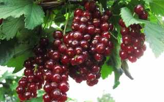 Красная смородина Виксне: описание сорта, фото, отзывы