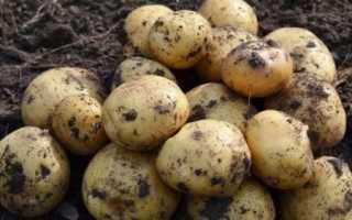 Картофель — Лидер — (19 фото): характеристика и описание сорта, вкусовые качества и отзывы