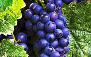 Виноград — Страшенский: описание сорта, фото, отзывы