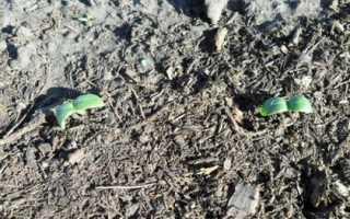 Как сажать огурцы в грунт семенами