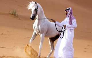 Лошади арабской породы: характеристики, особенности и преимущества