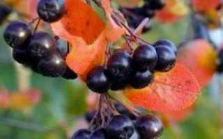 Черноплодная рябина: когда собирать терпкую ягоду?