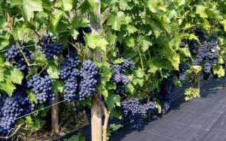 Виноград Зилга: описание сорта, посадка, уход, особенности и отзывы