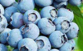 Голубика патриот: описание сорта, посадка, урожайность и отзывы