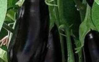 Баклажан Эпик F1: отзывы дачников, особенности выращивания и ухода