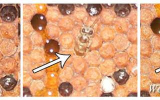 Август и пчёлы