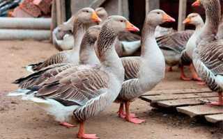 Крупная серая порода гусей: описание, выращивание и уход