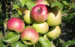 13 сортов яблонь для Подмосковья с фото и описанием, устойчивых к парше на