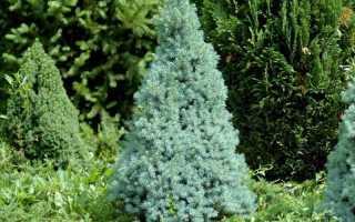 Ель канадская Пендула (Picea glauca Pendula): описание, фото