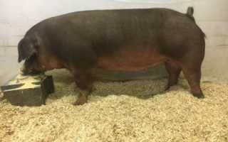 Порода свиней дюрок: фото, описание, характеристика, отзывы