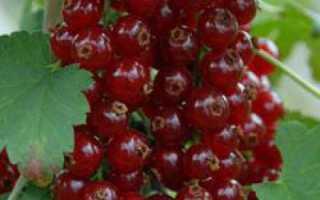 Смородина красная сахарная: посадка и уход