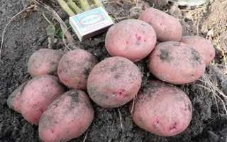 Сорт картофеля Журавинка: фото, отзывы, описание, характеристики