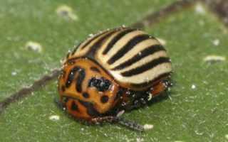Горчица против колорадского жука: способы применения