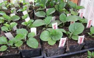 Когда сеять баклажаны на рассаду — Сад и огород