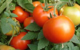 Выращивание помидоров в открытом грунте Правильный уход и формирование куста