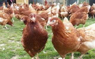 Куры родонит: описание и характеристика породы, выведение цыплят