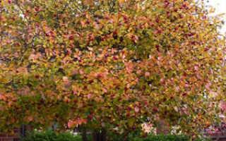 Боярышник сливолистный Спленденс, фото, описание, условия выращивания, уход