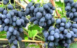 Виноград Сфинкс: описание сорта, особенностей посадки и ухода