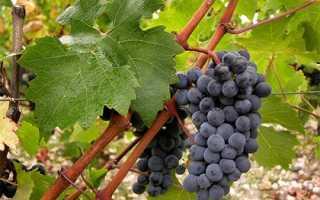 Сорт винограда каберне совиньон: описание, достоинства и недостатки