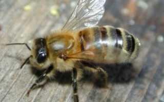 Акарапидоз: лечение пчел