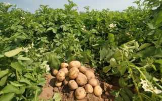 Лучшие сорта картофеля для Сибири: фото описание, отзывы