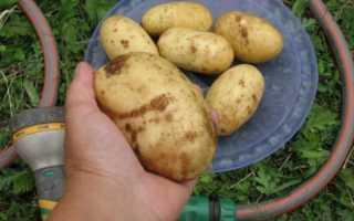 Картофель Колетте: описание и характеристика сорта, посадка и уход
