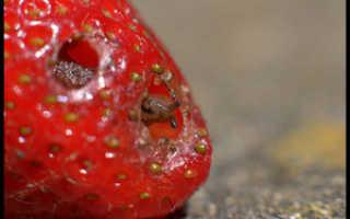 Подкормка весной клубники и малины аммиаком: правильная обработка растений нашатырем