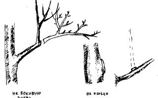 Сибирская селекция — Правила обрезки яблони