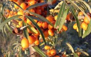 6 способов размножения облепихи: черенками осенью, порослью и другие