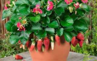 Выращивание ампельнх сортов клубники с фото