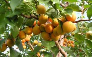 Посадка абрикоса весной: когда, и как правильно посадить (пошаговая инструкция)