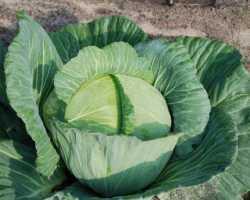 Нужно ли обрывать нижние листья у капусты? Когда это лучше делать?