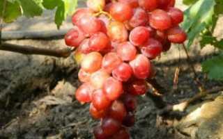 Виноград «Памяти учителя» описание сорта, выращивания, уход и фото
