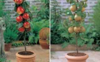 Низкорослые яблони и груши для сада заметки дачника